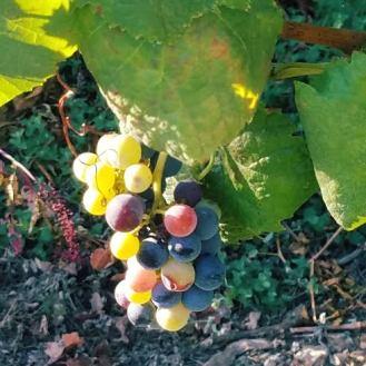 grapes-variety-monverde