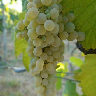 green-grapes-monverde